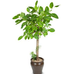 벵갈고무나무/특대F