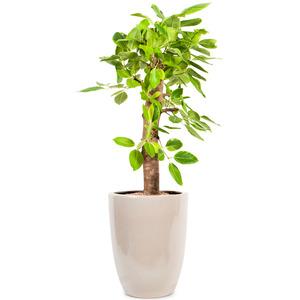 벵갈고무나무C