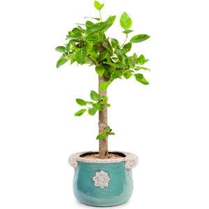 벵갈고무나무A