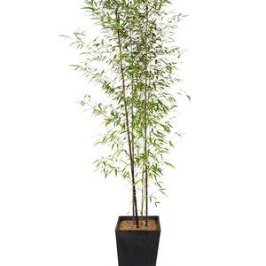 대나무 특품