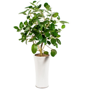 벵갈고무나무D