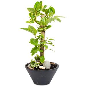 벵갈고무나무 외대