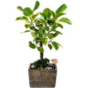 벵갈고무나무 사각2호