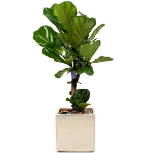 떡갈나무2호