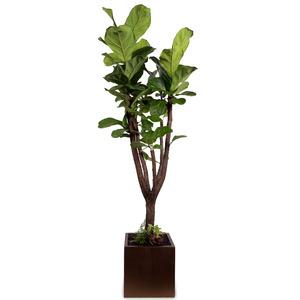 떡갈나무(특대)-키1800-2000