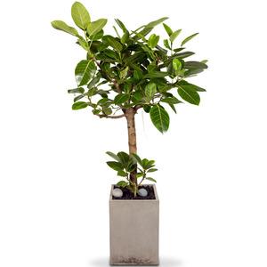 벵갈고무나무 사각10호(특)