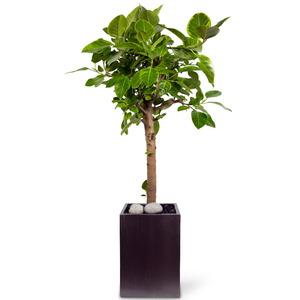 벵갈고무나무 사각9호(VIP)