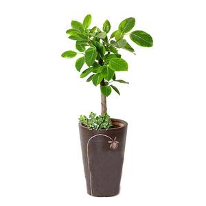 벵갈고무나무B