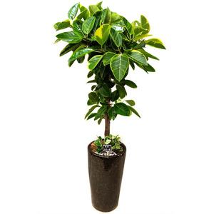 벵갈고무나무E