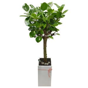 벵갈고무나무/특A