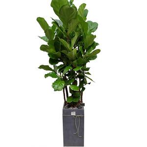 떡갈나무/사각분(2미터)