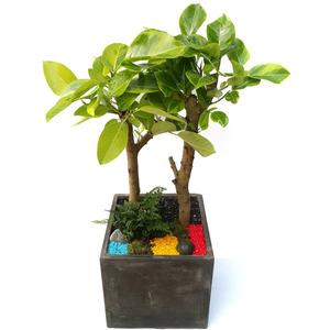벵갈고무나무 사각3호