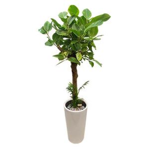 벵갈고무나무 흰사기화분